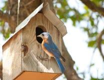 Bluebird oriental masculino fotografia de stock