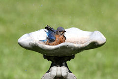 Bluebird orientale Immagine Stock Libera da Diritti