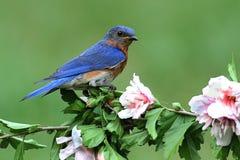 Bluebird orientale Fotografie Stock Libere da Diritti