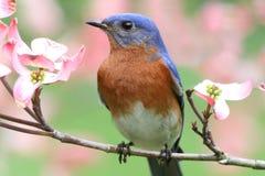 Bluebird orientale Fotografia Stock Libera da Diritti