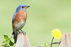 Bluebird orientale con Dandilion Fotografia Stock