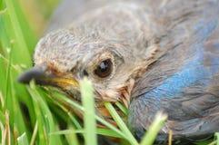 Bluebird orientale del bambino immagine stock libera da diritti