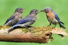 Bluebird orientale femminile con i bambini Immagini Stock