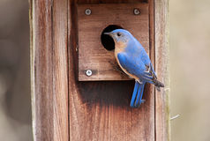 Bluebird orientale maschio fotografie stock