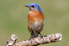 Bluebird orientale maschio Fotografia Stock