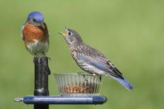 Bluebird orientale maschio con il bambino Immagine Stock