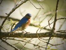 Bluebird orientale maschio nella sorgente Immagini Stock Libere da Diritti