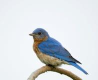 Bluebird orientale maschio (sialis di Sialia) Immagini Stock Libere da Diritti