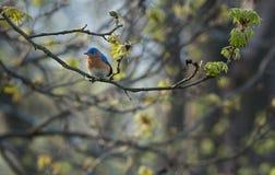 Bluebird orientale in primavera del membro di albero Immagine Stock