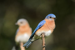 Bluebird pair with male in focus Stock Photos