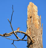 Lone bluebird perched on branch of storm ravaged t Stock Photos