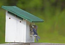 Bluebird perched feeding his young. Bluebird perched on a birdhouse feeding his young Stock Photos