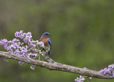 Bluebird perched in lilacs in the rain Royalty Free Stock Images