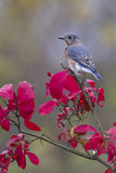 Bluebird Perched on Red Leaves Royalty Free Stock Image