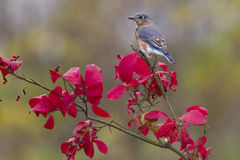Bluebird Perched on Red Leaves Stock Photo