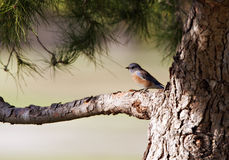 Bluebird Perched on Tree Branch Royalty Free Stock Image