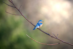 Bluebird perched on a tree branch in the sunlight Stock Image
