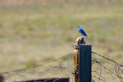 Bluebird perching on wooden post Royalty Free Stock Images