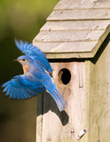 Bluebird que sae do birdhouse Fotografia de Stock Royalty Free