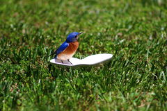 Bluebird Scoping. Male Bluebird checking out the photographer Royalty Free Stock Image