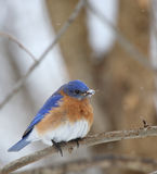 Bluebird, Sialia sialis. Eastern bluebird, Sialia sialis, perched on a tree branch with snow on its beak Royalty Free Stock Images