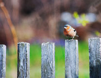 A bluebird sits on a fencepost Stock Images