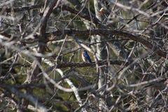 Bluebird Stock Images