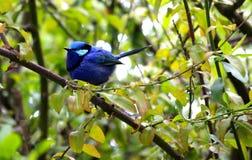 Bluebird sitting on a branch Stock Image