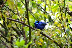 Bluebird sitting on a branch Stock Images