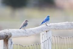 Blue bird sitting on the fence stock photography