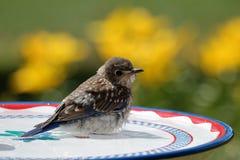Bluebird skąpanie Zdjęcie Stock