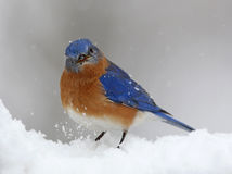 Bluebird in snow storm Stock Photography