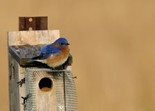 Bluebird songbird birdhouse Stock Photos