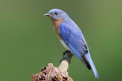 Bluebird On A Stump Stock Photos