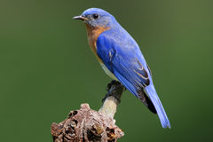 Bluebird On A Stump. Male Eastern Bluebird (Sialia sialis) on a stump with a green background Stock Image