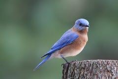 Bluebird on a Stump royalty free stock photo