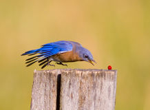 Bluebird swoops down to get a red berry