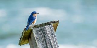 Bluebird on Tilted Nest Box Bokeh Background stock photo