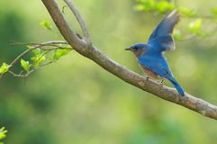 Bluebird Time to Fly Stock Photo