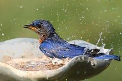 bluebird wschodni Zdjęcia Royalty Free