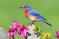bluebird wschodni Fotografia Royalty Free