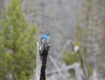 Bluebird in Yellowstone National Monument. Stock Photos