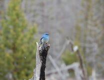 Bluebird in Yellowstone National Monument. Stock Photos
