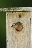bluebird zagłębienia wschodni żeński przyglądający gniazdeczko przyglądający Zdjęcie Stock