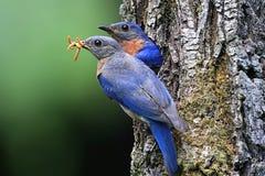 bluebirds ανατολικά στοκ εικόνες