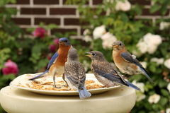 Bluebirds na zegarku Zdjęcie Royalty Free