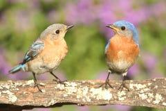 Bluebirds orientais Fotografia de Stock Royalty Free