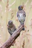 Bluebirds orientali del bambino Fotografie Stock Libere da Diritti