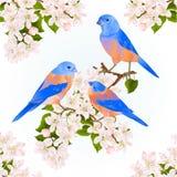 Bluebirds thrush small songbirdons on an apple tree branch with flowers spring background vintage vector illustration editable stock illustration