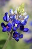 bluebonnet Τέξας Στοκ φωτογραφίες με δικαίωμα ελεύθερης χρήσης